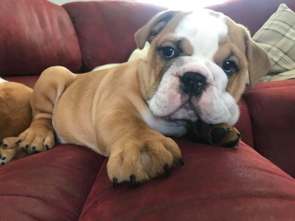Pin On Really Cute English Bulldog Puppies