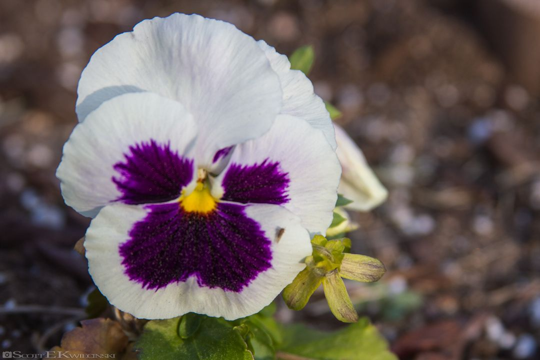 Purple And White Pansy Pansy Flower Pansies Flowers Petal Petals Purple White Shadow Shadows Blend Blur Leaf Leaves Pansies Photography Petals