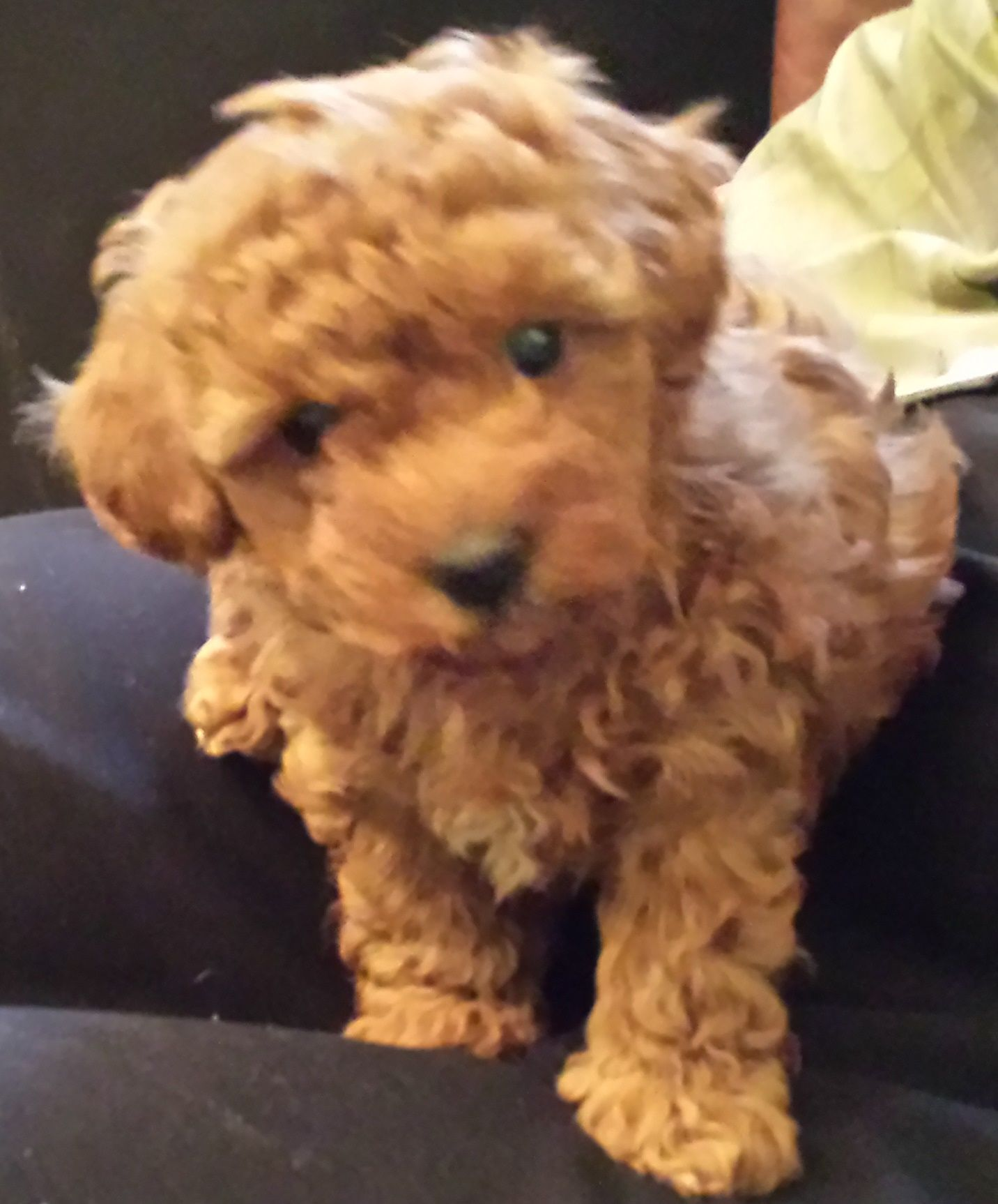 Poodle Pups Available Toy Poodles Toy Poodle Breeder Toy Poodles