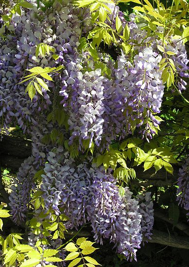Wisteria Sinensis In Springtime Italy By Philip Mitchell Wisteria Spring Time Garden Club