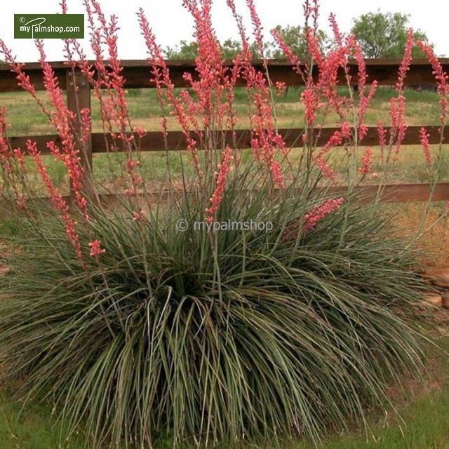Hesperaloe Pariflora Robustite A Froid Protegez Dessous De 20 C