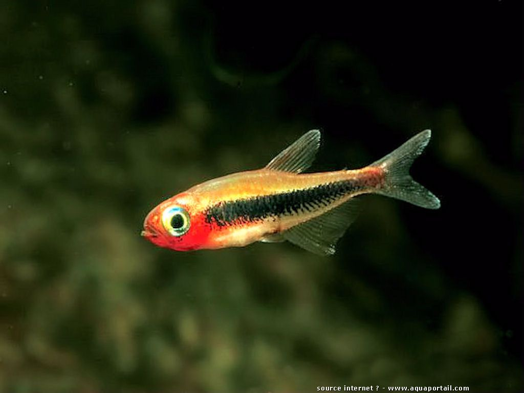 Rasbora rubrodorsalis re poisson d 39 eau douce for Poisson tropicaux eau douce