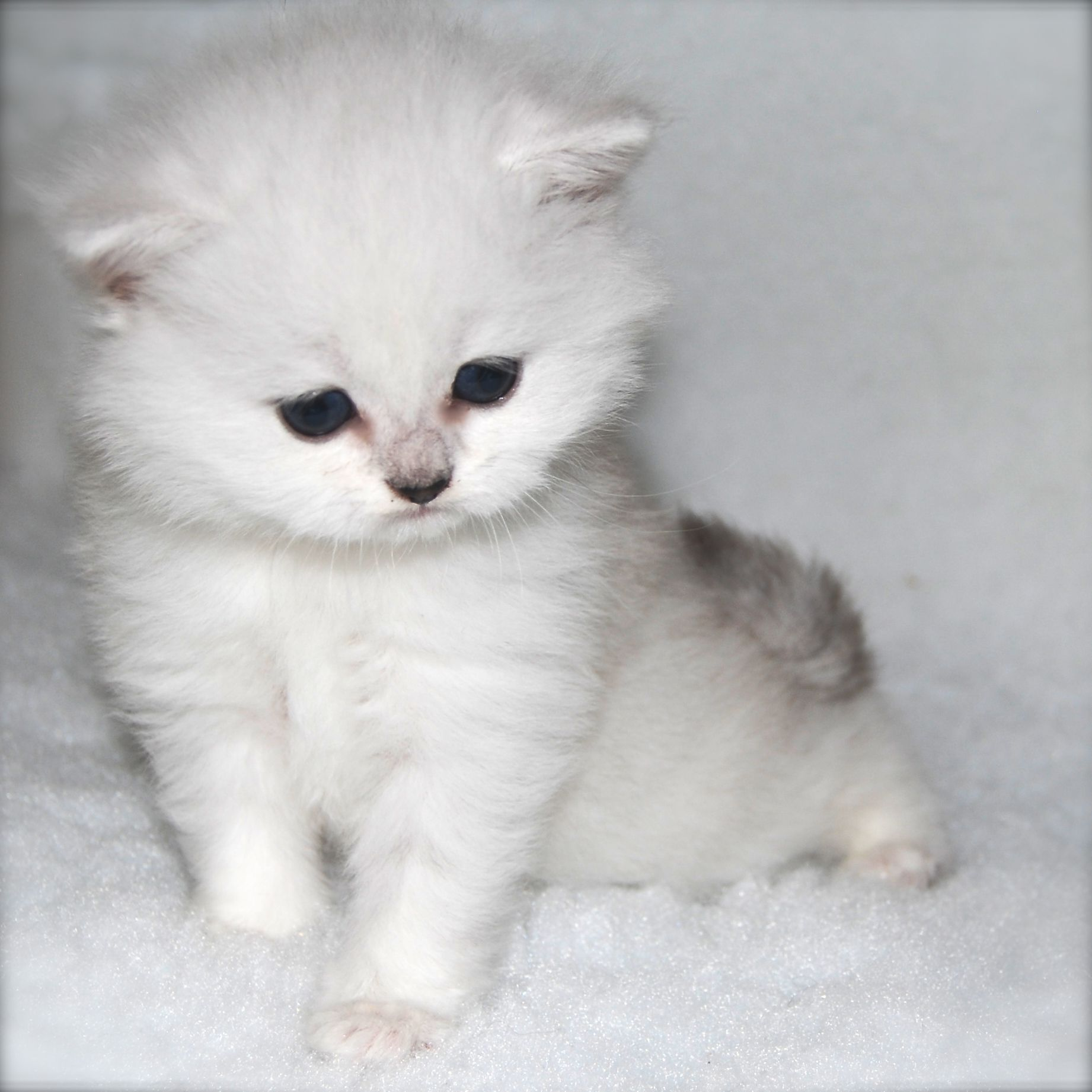 Belle Ayr Snow Lion British Longhair Silver Shaded Ns11 Blh British Shorthair Cats Kittens Snow Lion