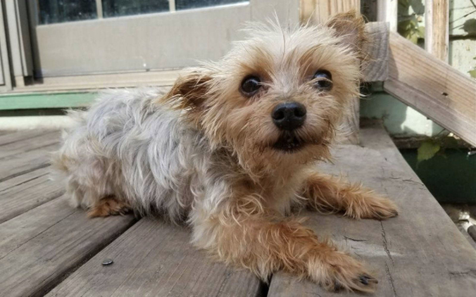 Yorkie Abandoned With Heartbreaking Note Gets a Second Chance at ...