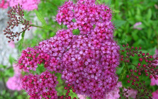 Los mejores arbustos de crecimiento rápido Arbustos, Arbustos de