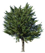 Download Fir Tree Png Images Background Png Free Png Images Tree Photoshop Tree Clipart Landscaping Trees