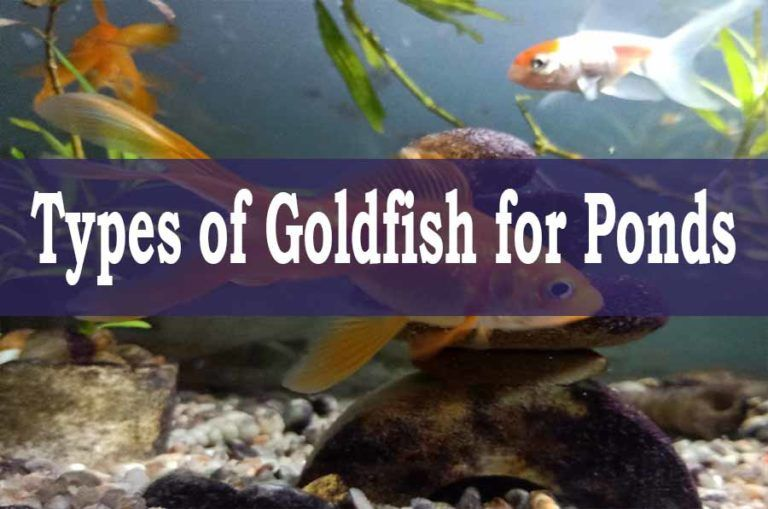 Pin By May Smith On Pond In 2021 Goldfish Types Goldfish Koi Fish Pond