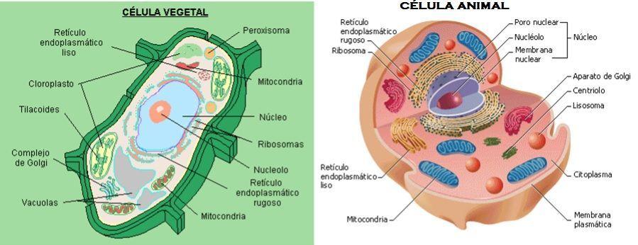 Células Eucariotas Vexetal E Animal Célula Animal Célula
