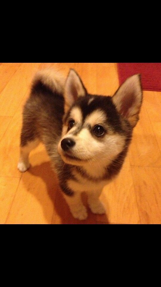 My cousin owns 2 huskies and said there are miniature huskies called