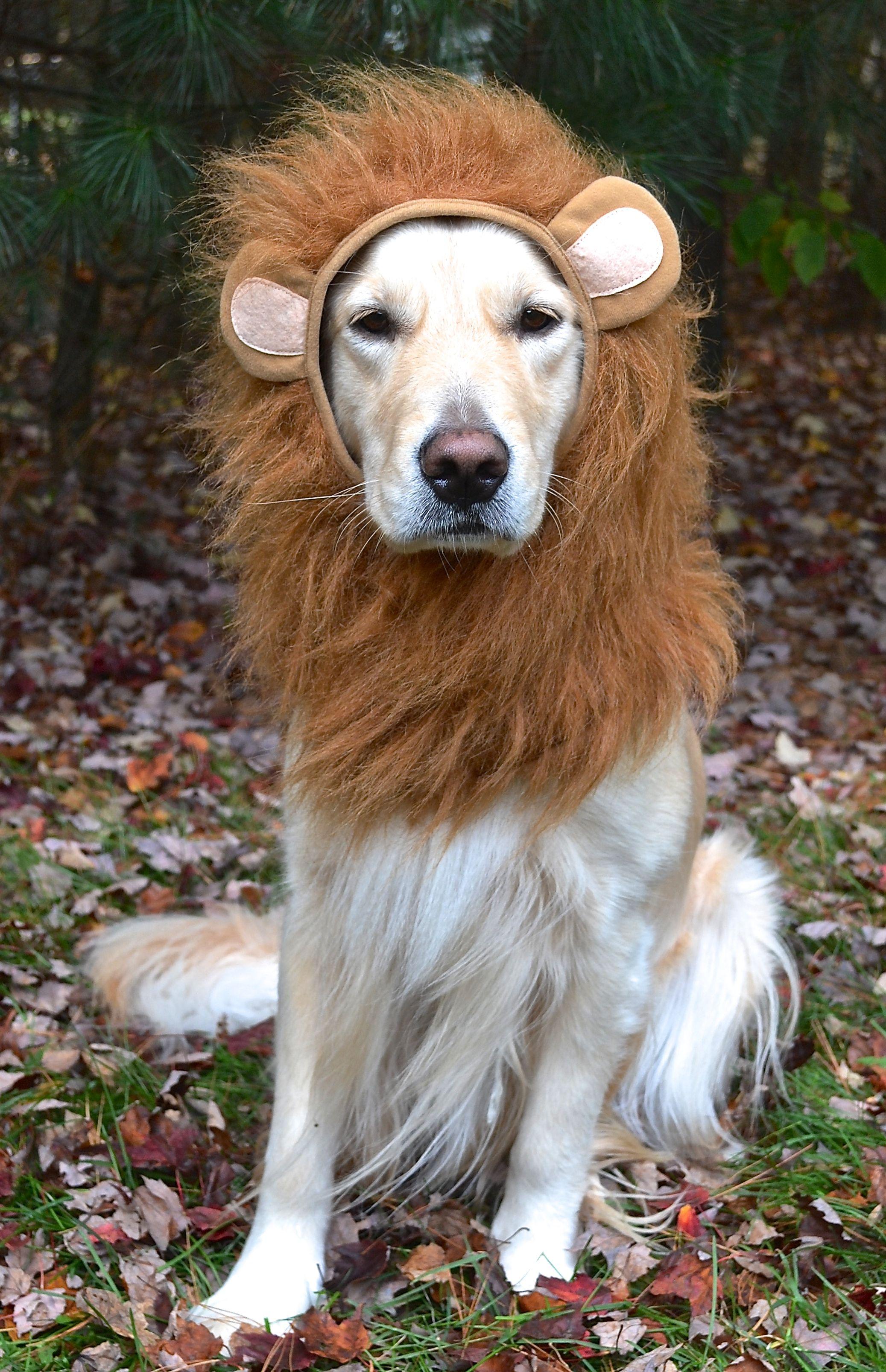 luna the lioness golden retriever lion halloween costume | labs