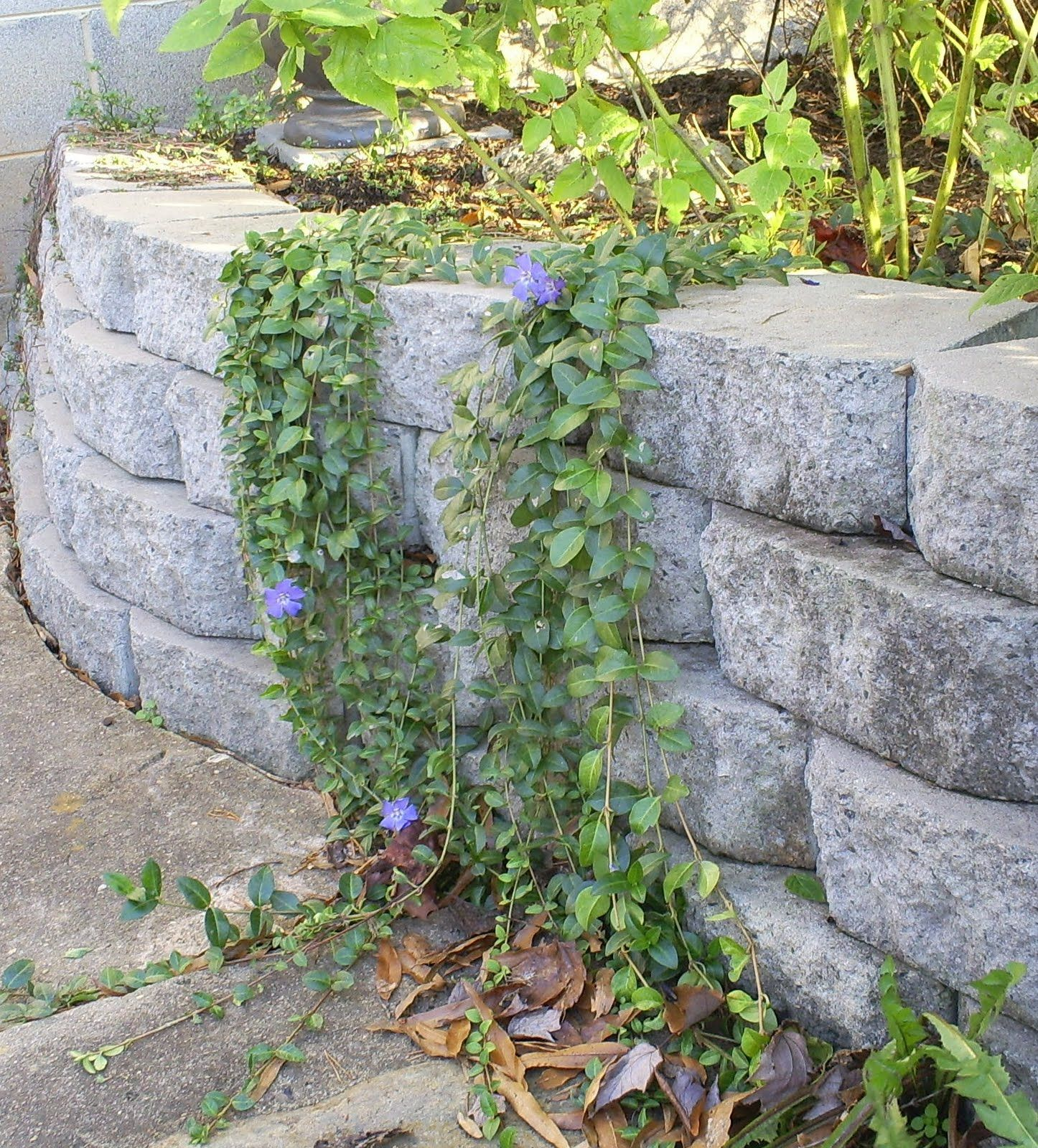 Vinca Vine Over Concrete Block Retaining Wall Concrete Retaining Walls Pinterest Garden Diy Garden