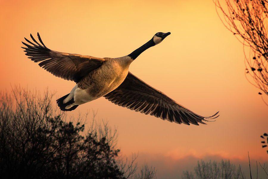 Jeffsphotoart Canadian Goose Canada Goose The Wild Geese