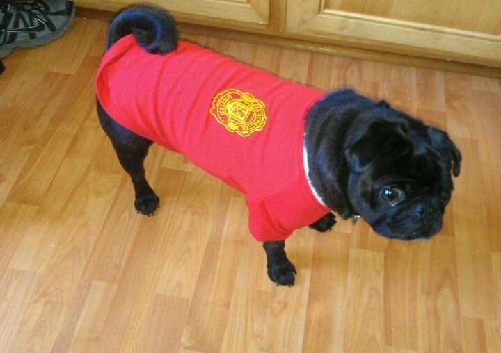 Manchester United Georgie Side View The Unit Manchester United Pugs
