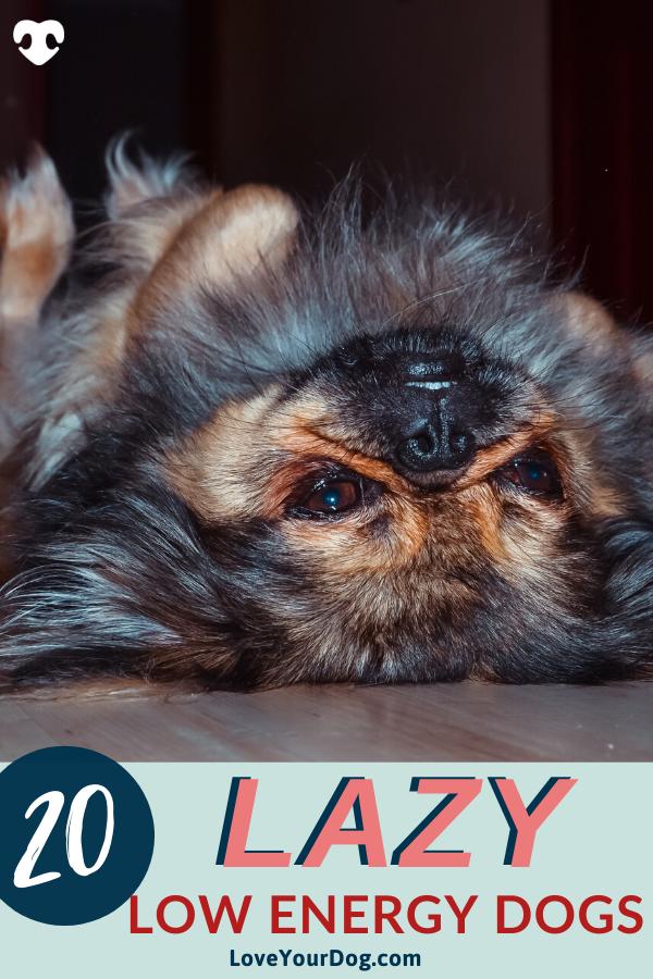 20 Lazy Low Energy Dog Breeds That Need Minimal Exercise In 2020 Dog Breeds Lazy Dog Breeds Low Energy Dogs