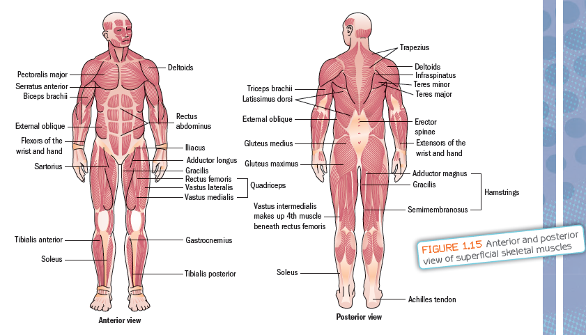 The Human Muscular System Labeled Diagram  AofCom  Bushcraft