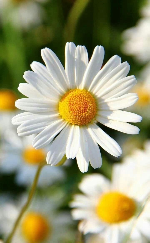 Daisy flower fleurs pinterest flower flowers and flower power daisy flower izmirmasajfo