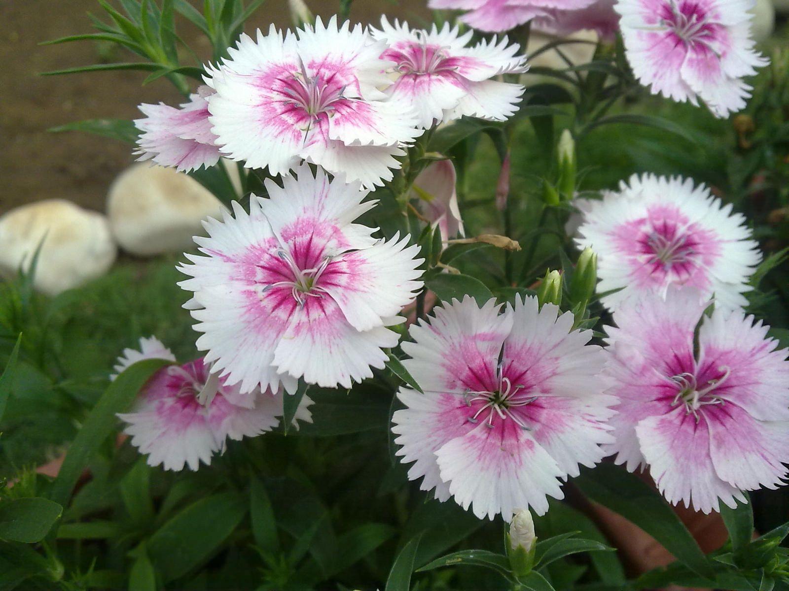Dianthus | Flickr - Photo Sharing!