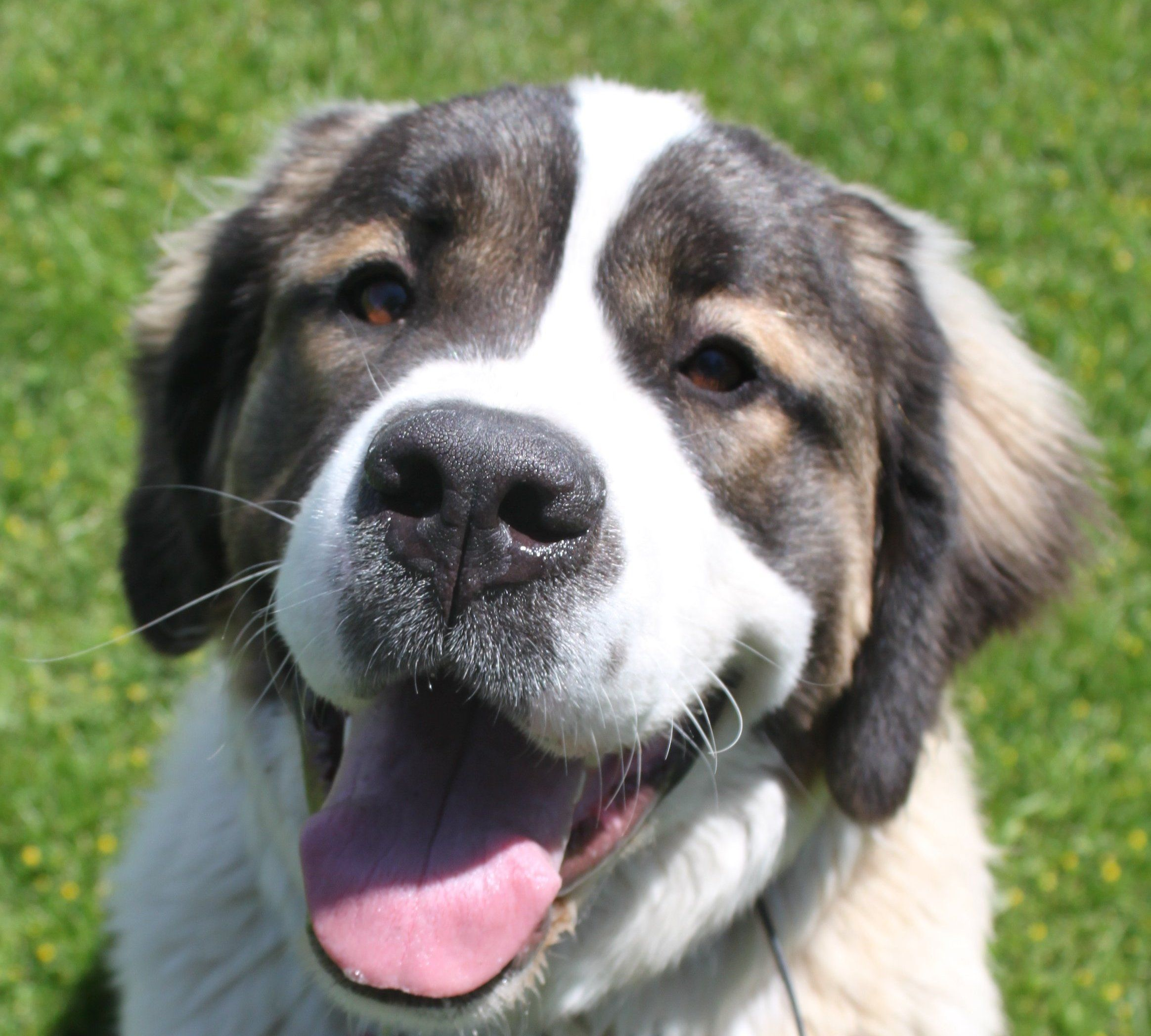 Dog for Adoption in Bend Oregon  Daisy the St  Bernard  XLg