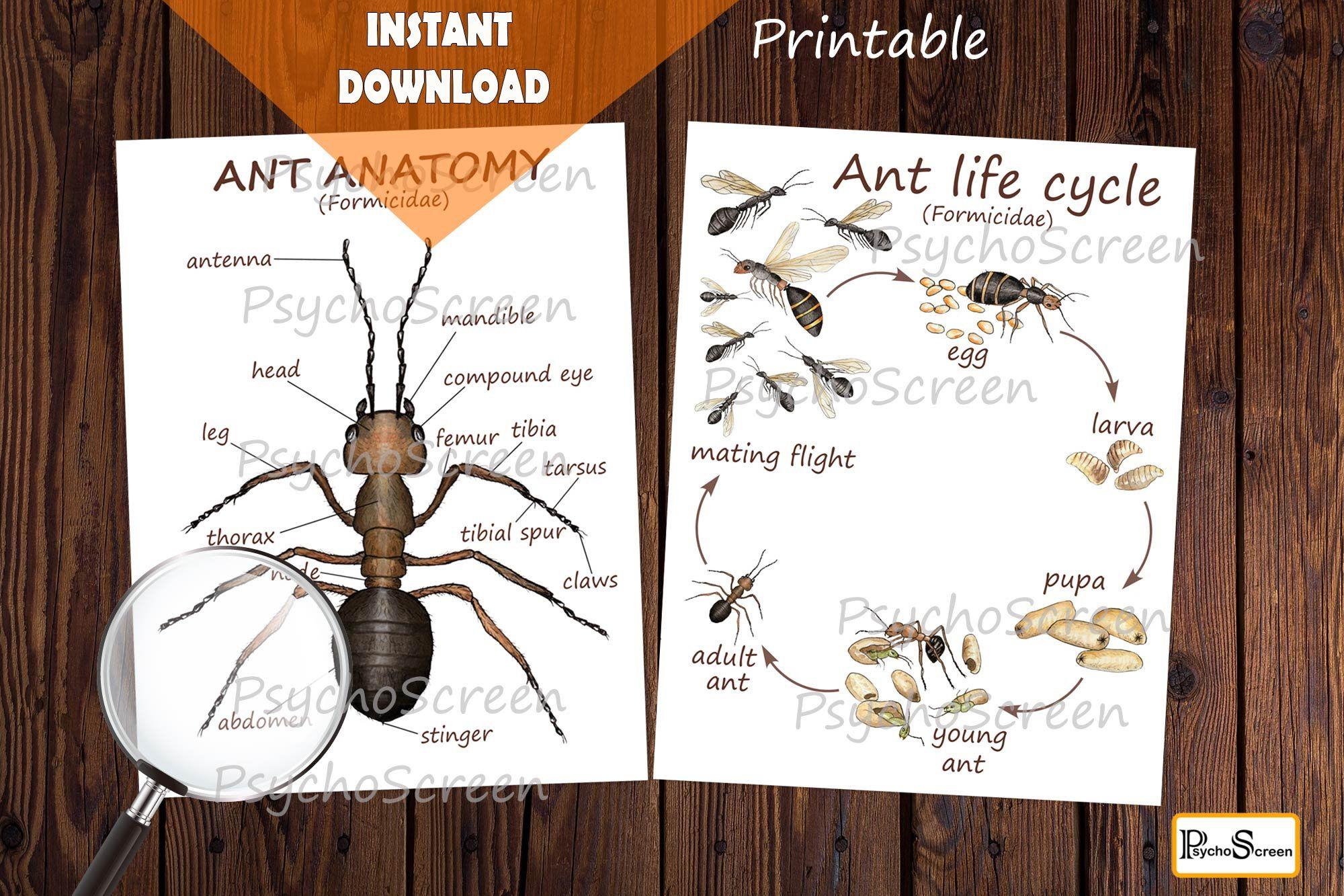 Ant Unit Study Mini Printable Ants Bundle Anatomy