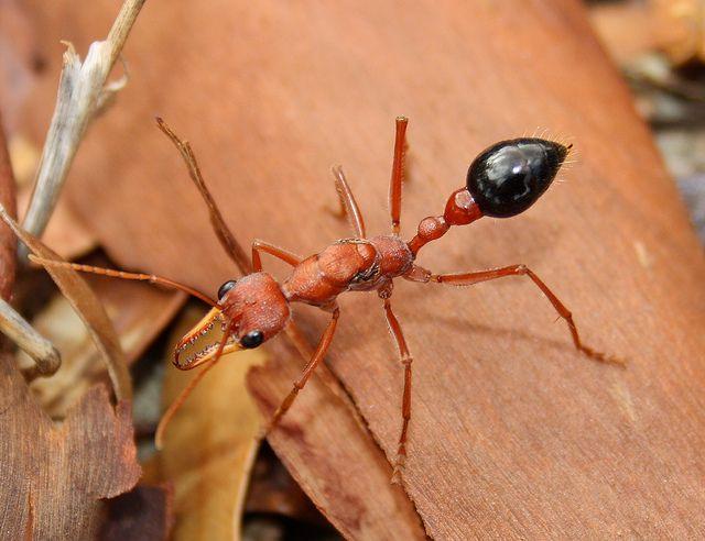 Formicidae Myrmecia Brevinoda Bulldog Ant Img8215 Deadly