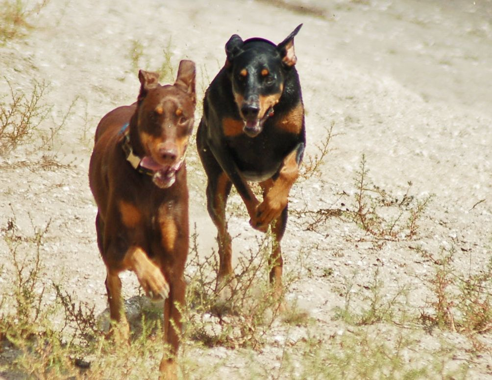 2 Friends Running Happy Jazzy Indiana My Doberman