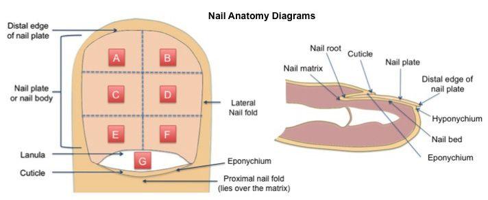 Nail Diagram Bing Images Biology Pinterest Diagram And Skin