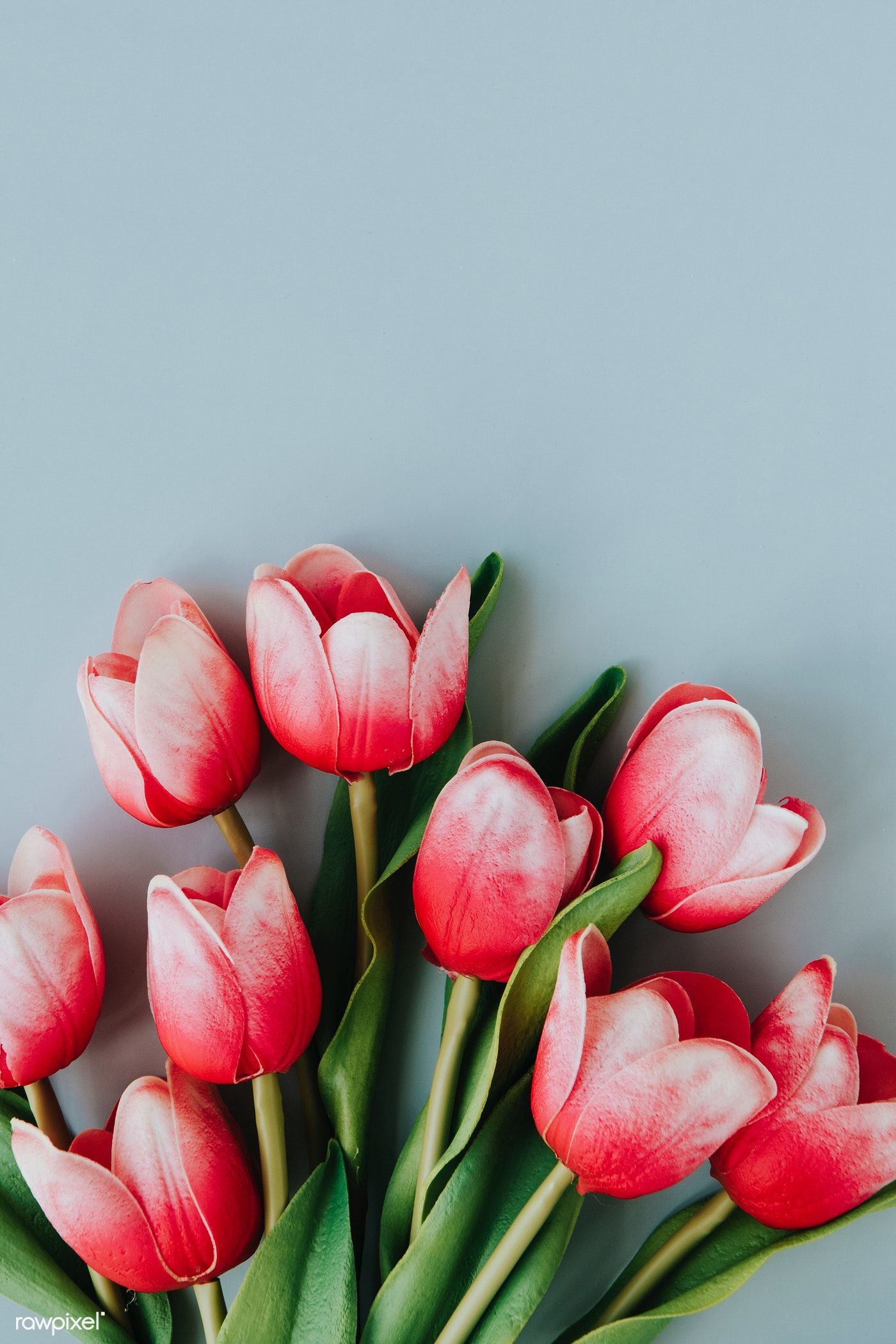 Download Premium Image Of Red And White Tulip On Blank Blue Background Flower Background Wallpaper White Tulips Tulips Flowers
