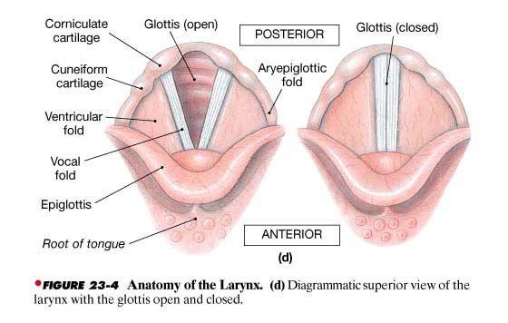 the epiglottis and glottis - Google Search | Health | Pinterest