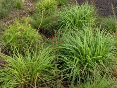 Carex-comosa-Bottlebrush-Sedge-Minnesota-Native-Grass-(2) | D7 ...
