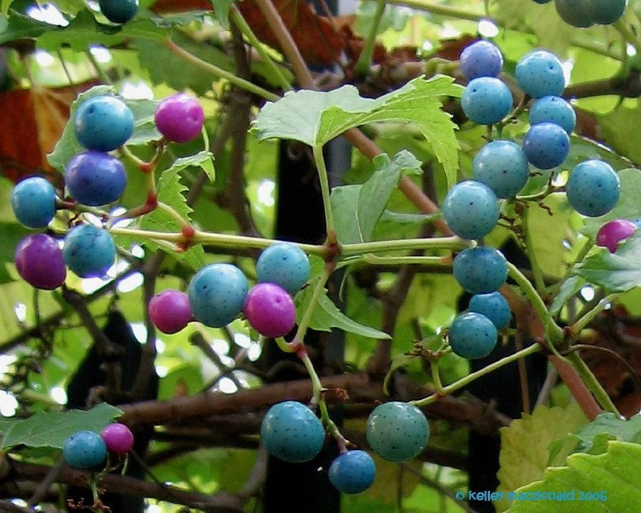 Image result for berry vines
