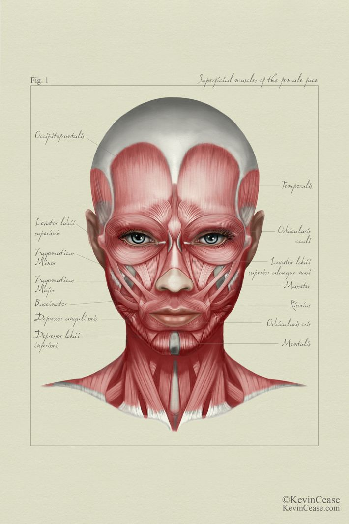 Female anatomy: face by Kevin Cease {woman face muscles}   Medical ...