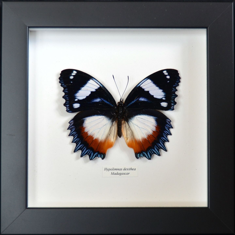 papillon de madagascar sous verre avec cadre hypolimnas. Black Bedroom Furniture Sets. Home Design Ideas