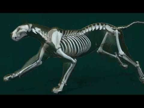 Animation of the skeletal anatomy of a running lion | Animal anatomy ...