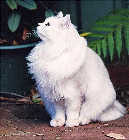 Australian Tiffanie Cat Breeds Crazy Cats Cat Portraits