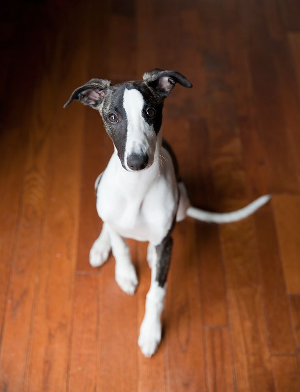 Whippet Puppy For Puppy Fridays From Underdog Rescue Of Arizona Just Like Windhunde Hunde Und Tiere