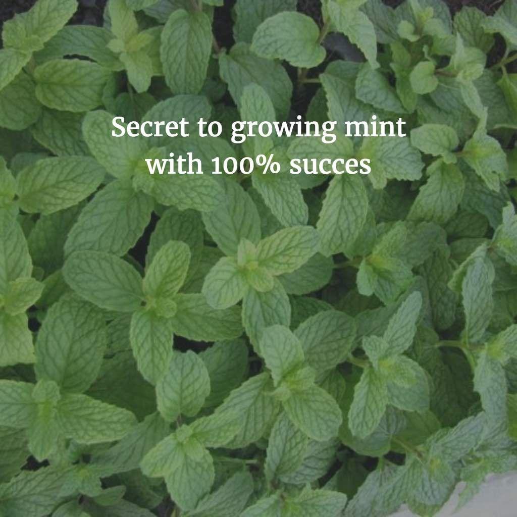 pin by dani marie on g a r d e n growing mint mint garden mint plants. Black Bedroom Furniture Sets. Home Design Ideas