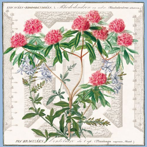 Rhododendron Et Plumbago D Orbigny Illustration Maubert Plan De