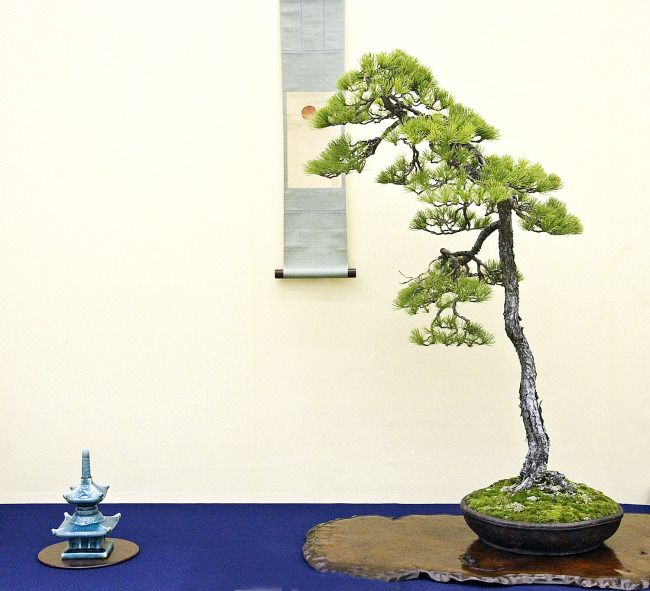 Literati bonsai in a tokonoma display bonsai penjing for Literati bonsai gallery