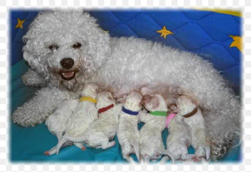 99 Maltese Bichon Dog In 2020 Bichon Dog Dogs Bichon