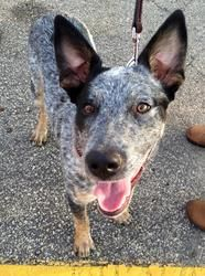 Adopt Pepper On Blue Heeler Dogs Dog Adoption Australian Cattle Dog Blue Heeler
