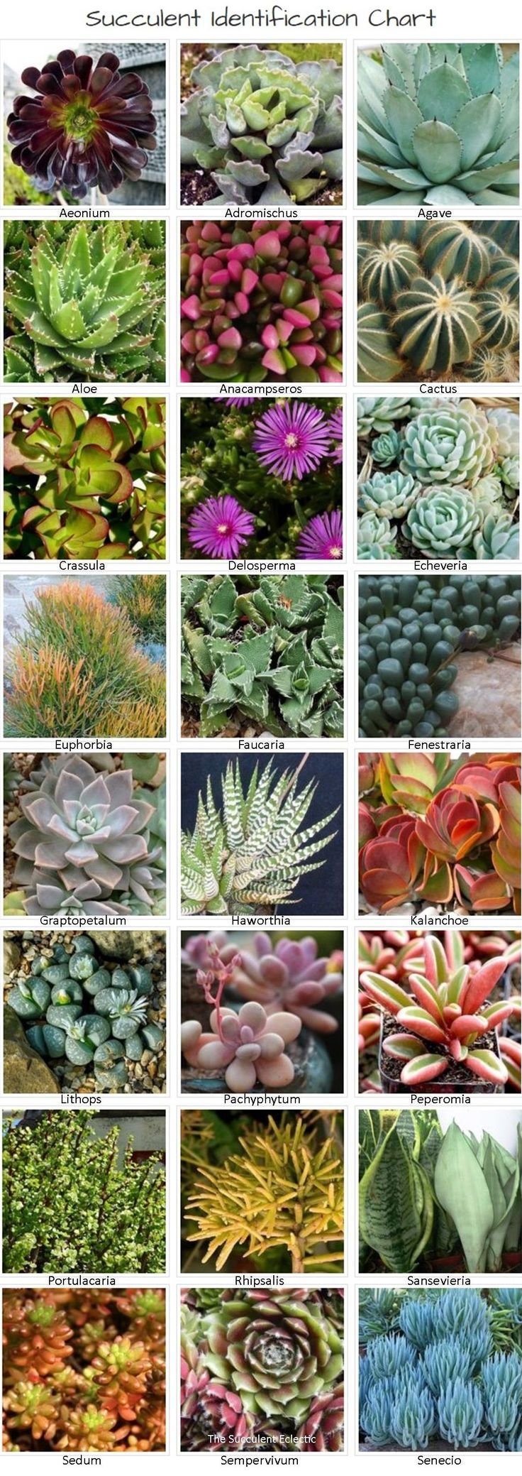 Identifying Types Of Succulents With Pictures The Succulent Eclectic Identifying Succulents Succulent Garden Diy Succulent Species