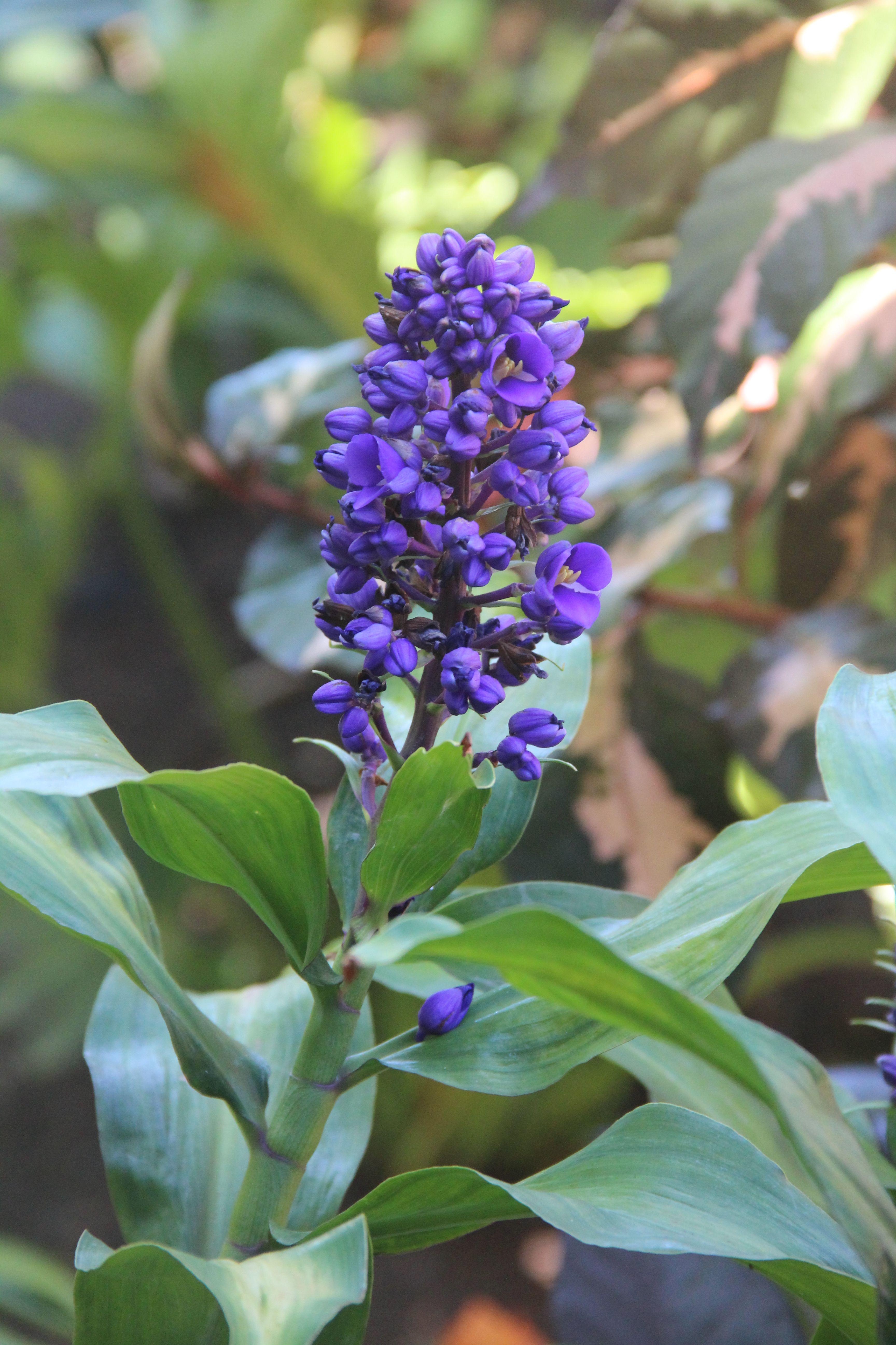 Dichorisandra Thyrsiflora Blue Ginger Tropical Flowers Garden