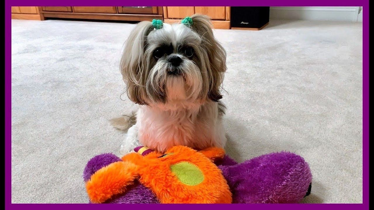 Lacey Has Fun With Large Squeaky Toys Silly Shih Tzu Dog