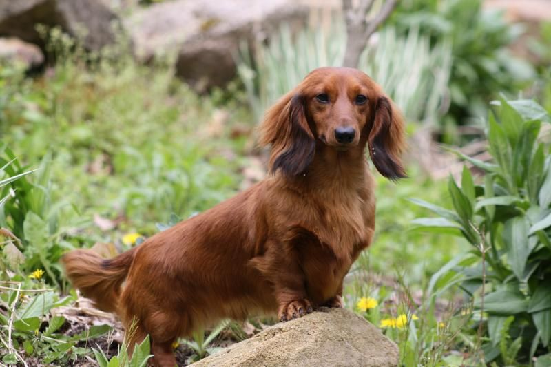 Mom 39 S Dachshunds Retired Adults Dachshund Love Wiener Dog