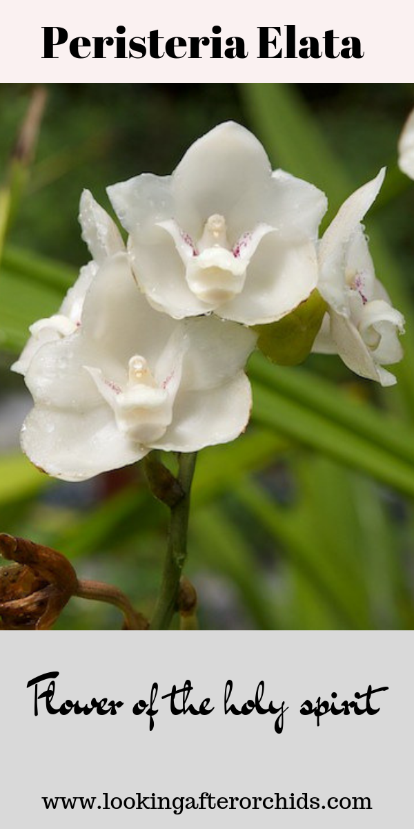 The Peristeria Elata Orchid Is Also Known As The Flower Of The Holy Spirit Orchid Or Dove Orchid Click To Le Looking After Orchids Orchids Unusual Flowers
