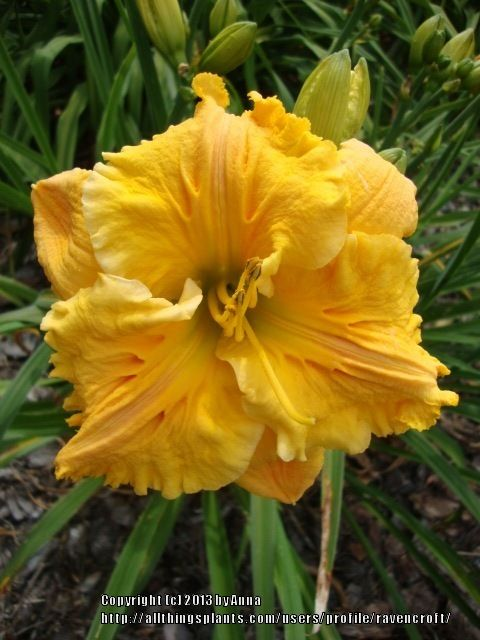 Blumen Garten Falk Daylily (hemerocallis 'bas Relief') In The Daylilies
