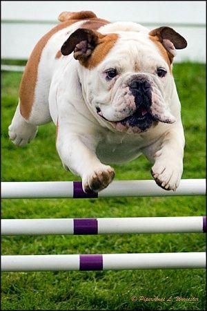 10 English Bulldogs Totally Defying The Laws Of Physics Bulldog