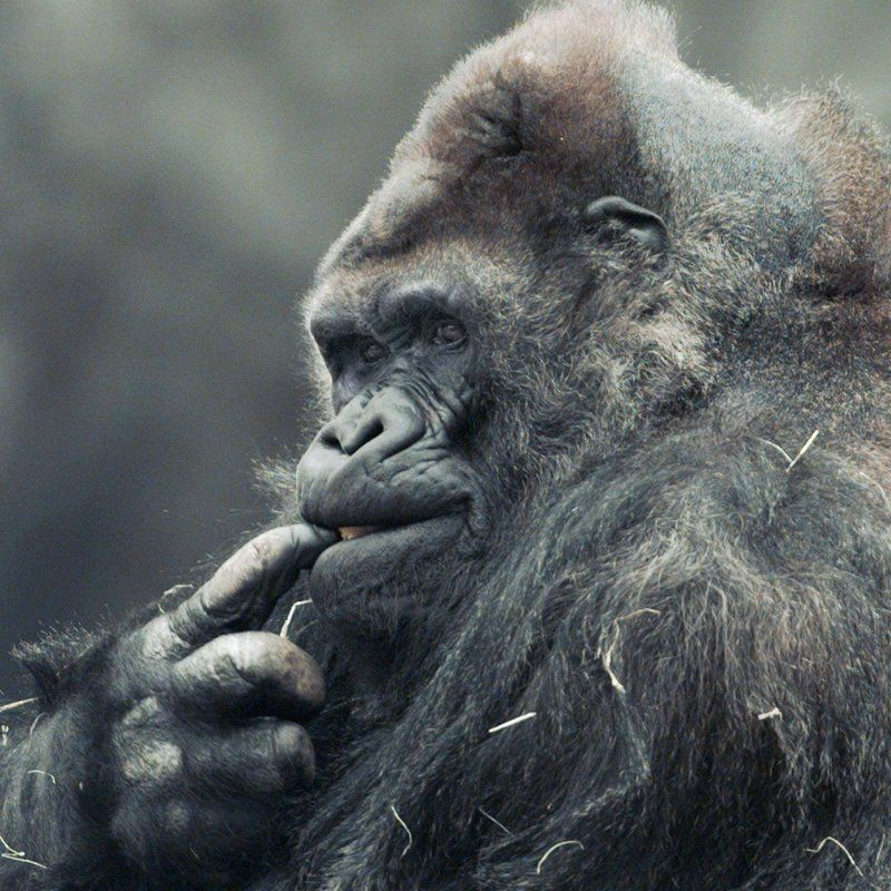 Meet ivan the gorilla who lived in a shopping mall