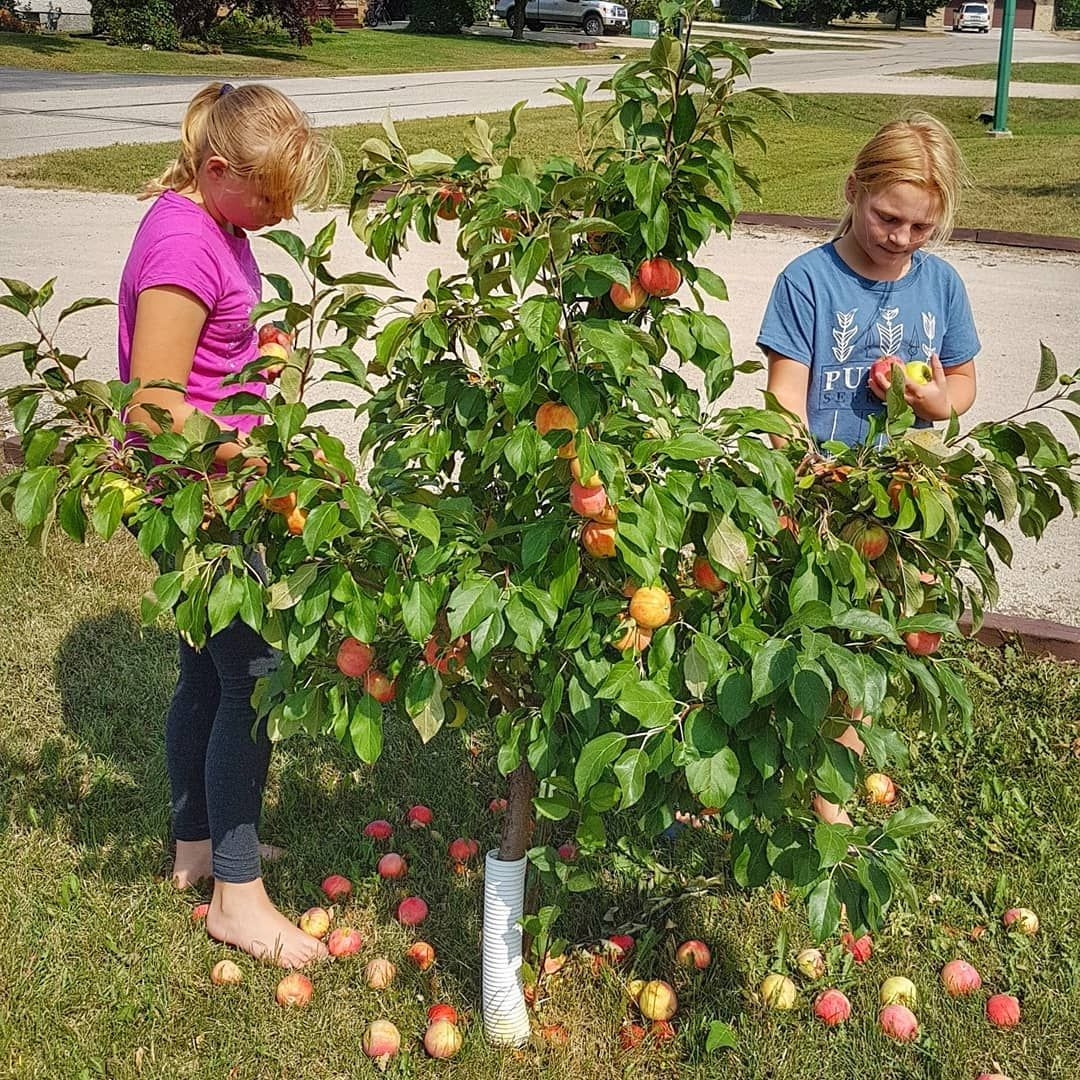 If You Don T Have A Ton Of Space For A Fruit Orchard But Are Interested In Growing Fruit Trees Consider Tryi Fruit Trees Dwarf Fruit Trees Growing Fruit Trees