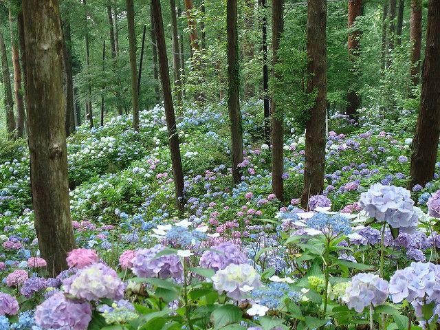 JAPAN - July 18-31 2007 176 | Hydrangeas in the trees. | Flickr